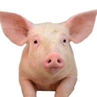 Alimentation porcine