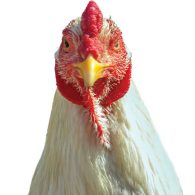 Secteur avicole